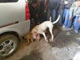 собачьи бои аргентинец vs питбуль
